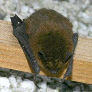 Soprano pipistrelle bat