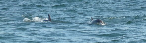 Bottle-nosed Dolphins in Montrose Bay